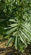 Tagestes minuta leaf