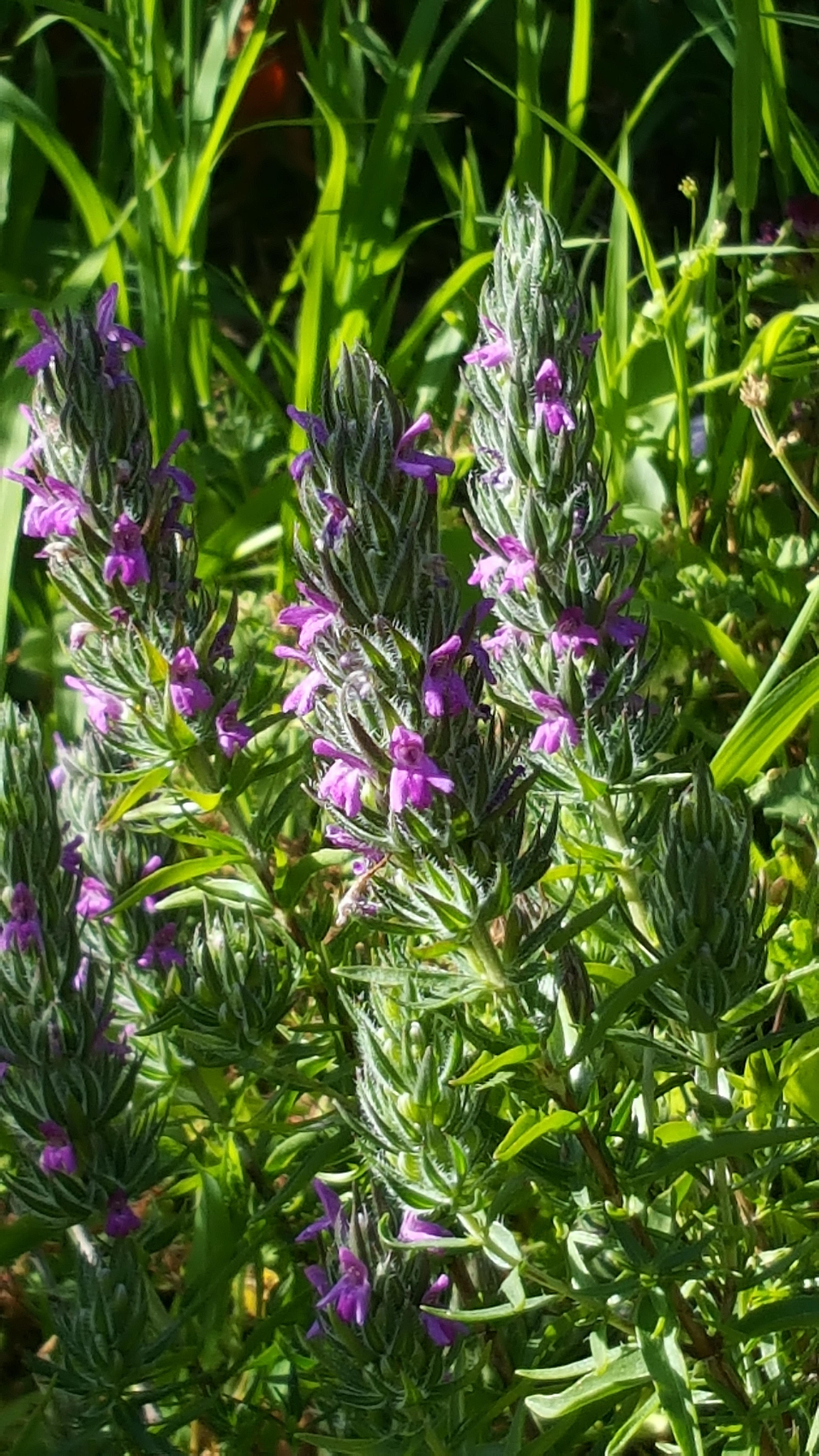 zaatar-flower